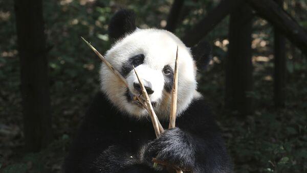 Un oso panda - Sputnik Mundo