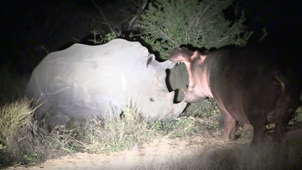 Hipopótamo contra rinocerontes - Sputnik Mundo