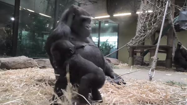 ¡Una madre bien estricta! Este bebé gorila te hará recordar tu infancia - Sputnik Mundo