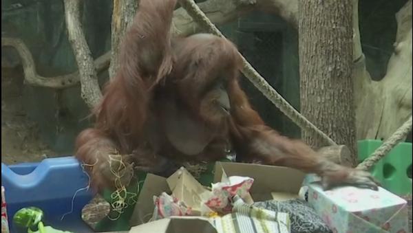 La orangutana Nénette celebra su 50 aniversario - Sputnik Mundo