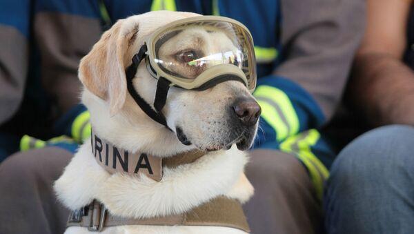 Frida, perro rescatista de México - Sputnik Mundo