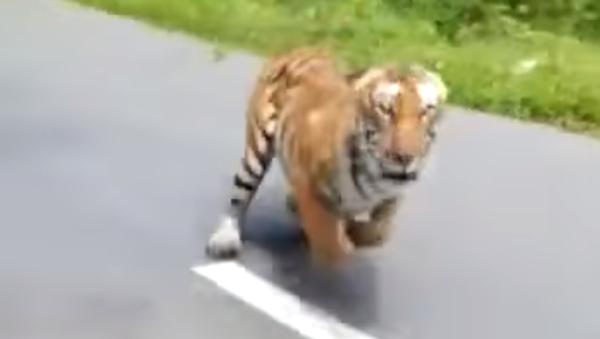 Un tigre se la jura a una moto en la carretera - Sputnik Mundo