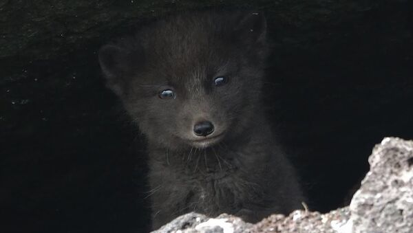 Un zorro ártico (imagen referencial) - Sputnik Mundo