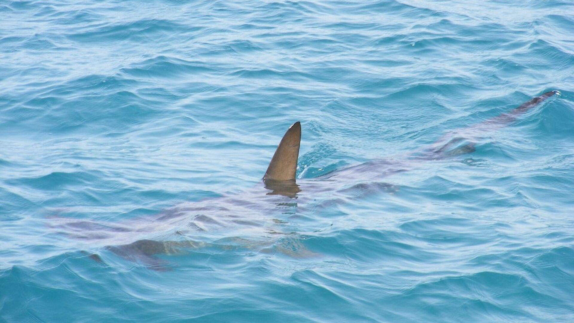 Un tiburón (imagen referencial) - Sputnik Mundo, 1920, 14.10.2021