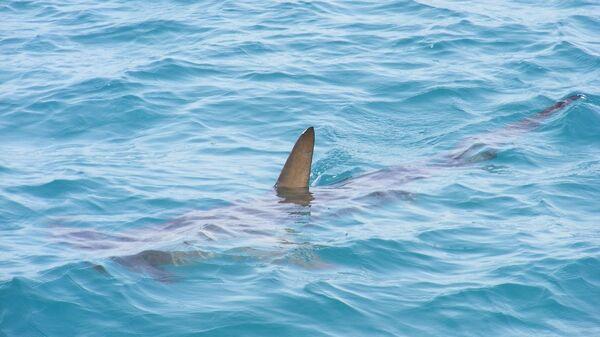 Un tiburón, referencial - Sputnik Mundo