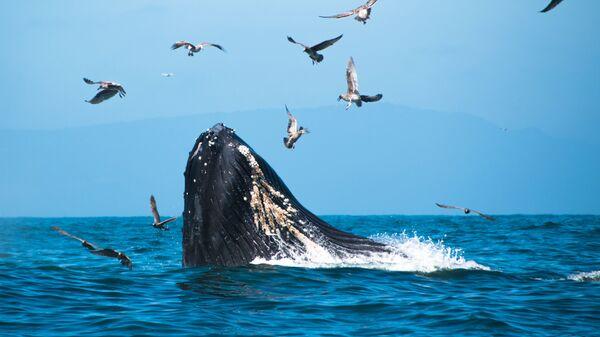 Una ballena jorobada - Sputnik Mundo