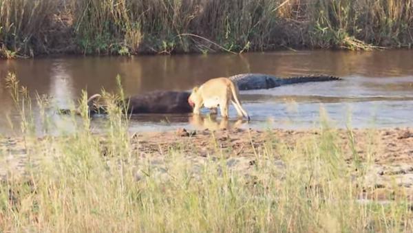 Unos buitres se frotan las manos mientras una leona y un cocodrilo se zampan un búfalo - Sputnik Mundo