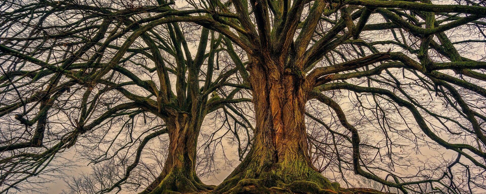 Árboles, árbol (imagen referencial) - Sputnik Mundo, 1920, 26.07.2021