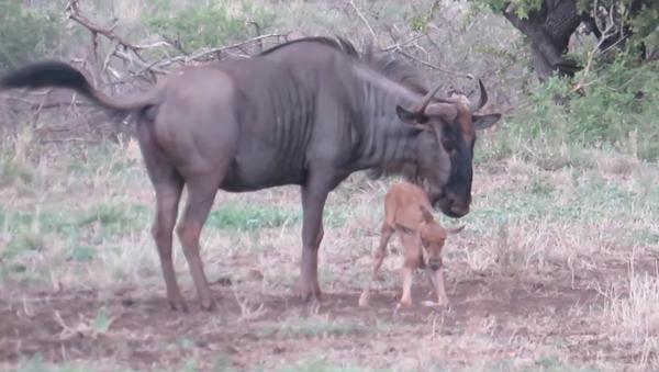 El poder del amor maternal: una ñu protege a su cría de los chacales - Sputnik Mundo