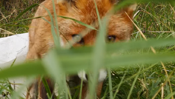Un zorro roba un teléfono oculto que lo espiaba - Sputnik Mundo
