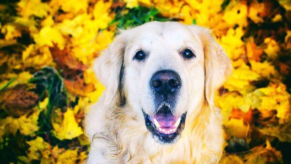 Un perro de la raza golden retriever  - Sputnik Mundo