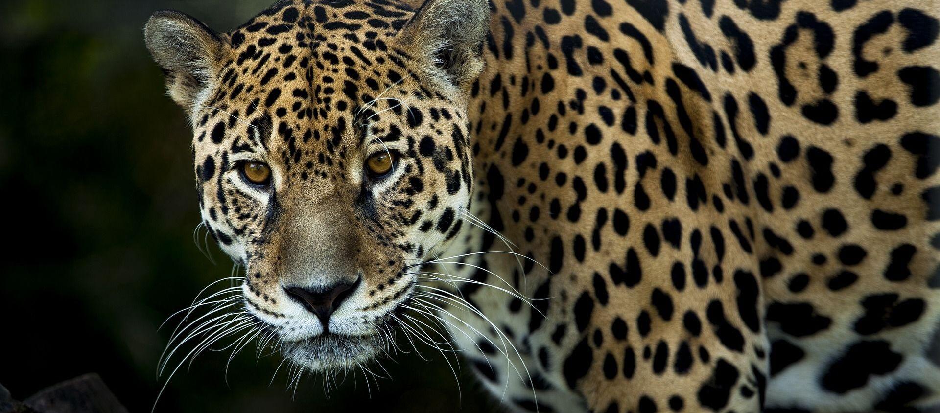 Un jaguar (imagen referencial) - Sputnik Mundo, 1920, 06.01.2021