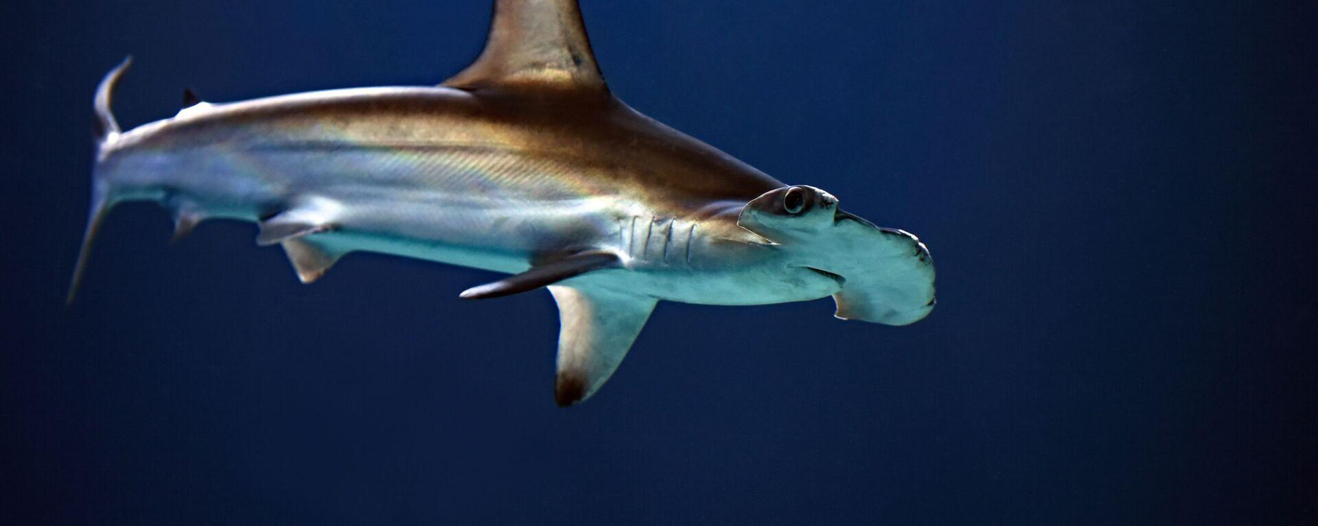 Un tiburón martillo  - Sputnik Mundo, 1920, 20.07.2021