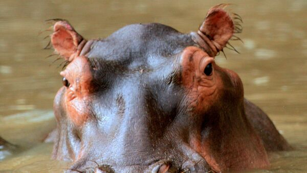 Hipopótamo - Sputnik Mundo