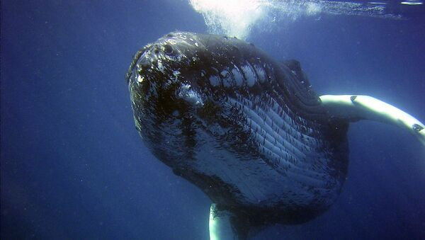 Ballenas jorobadas - Sputnik Mundo