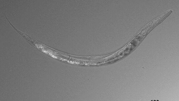 Nematodo, el gusano de tres sexos que intriga a la ciencia - Sputnik Mundo