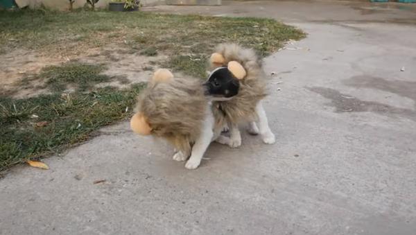 Este es el disfraz de Halloween perfecto para tu perro - Sputnik Mundo