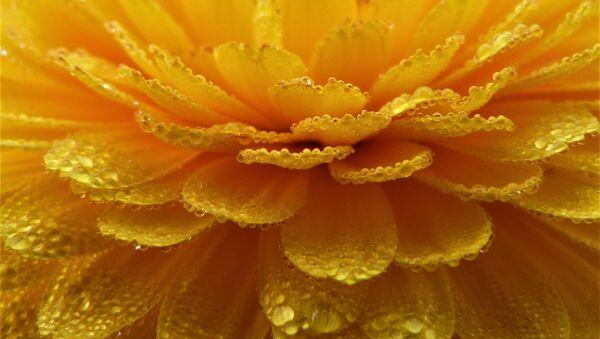 Flor de cempasúchil - Sputnik Mundo