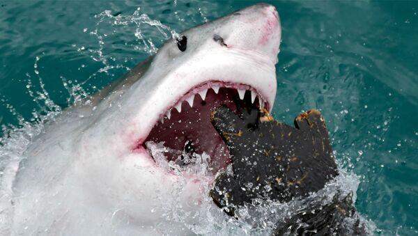 Un tiburón blanco (imágen referencial) - Sputnik Mundo