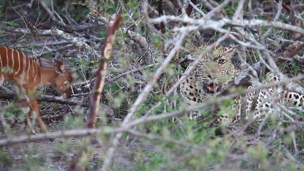 Insólito: un bebé antílope 'cornea' a un leopardo - Sputnik Mundo