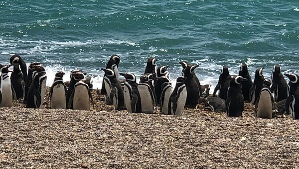 Pingüinos magallánicos en Chubut, Argentina - Sputnik Mundo