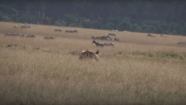 Una leona ataca a un ñu - Sputnik Mundo