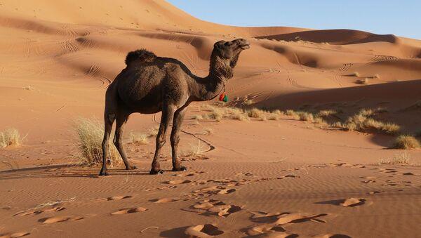 Un camello (imagen referencial) - Sputnik Mundo