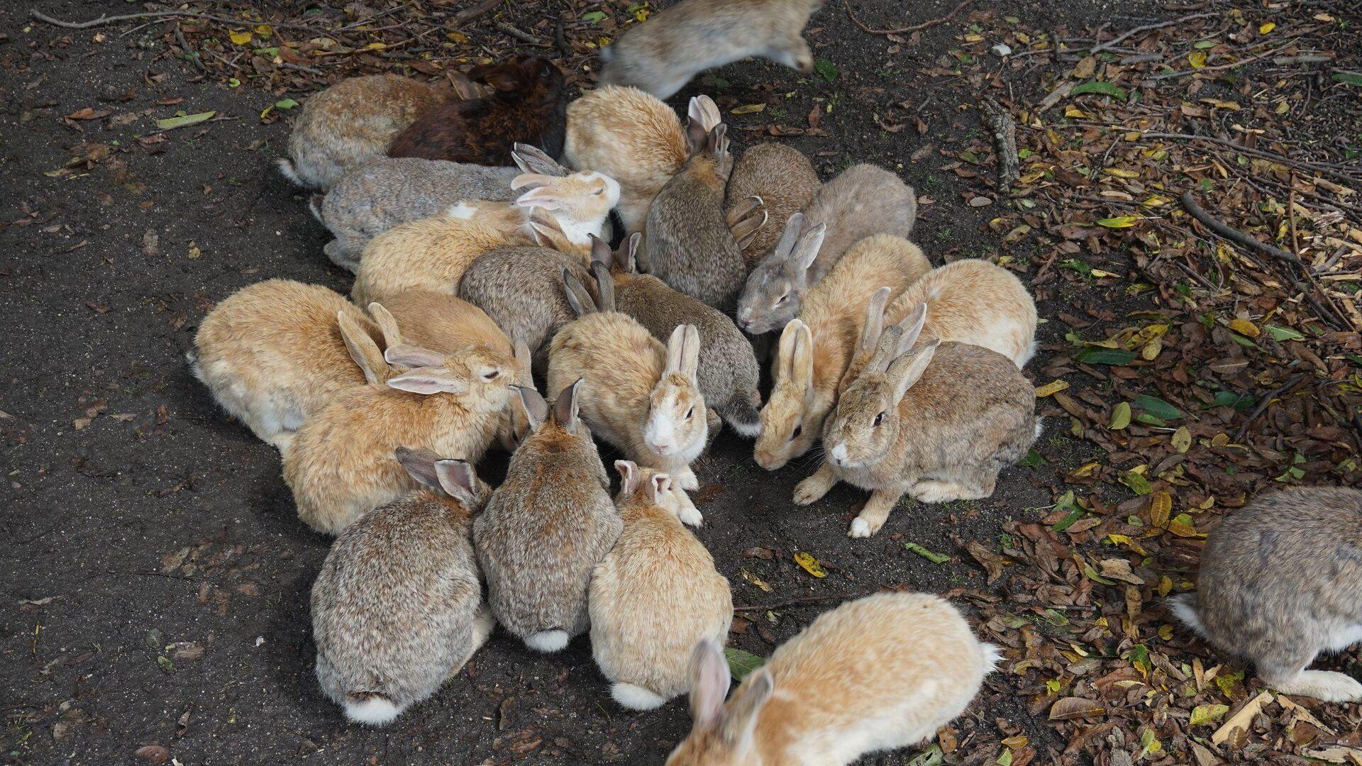 Más de 700 conejos viven en la isla de Okunoshima - Sputnik Mundo, 1920, 18.02.2021