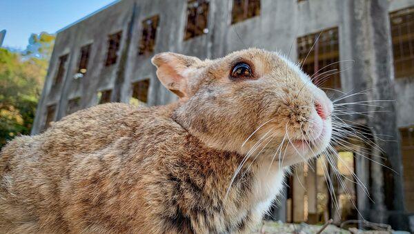 Conejo frente a las ruinas de la fábrica de gases tóxicos de Okunoshima - Sputnik Mundo