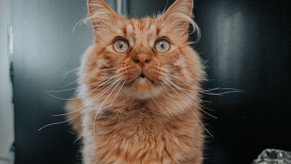 Un gato - Sputnik Mundo