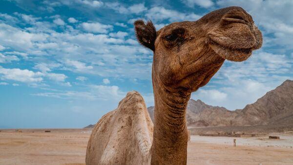 Camello sonriente  - Sputnik Mundo