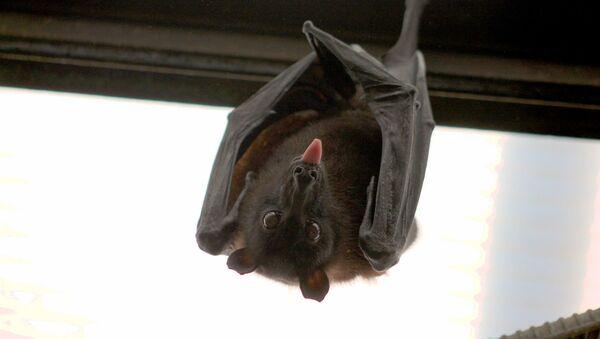 Un murciélago - Sputnik Mundo