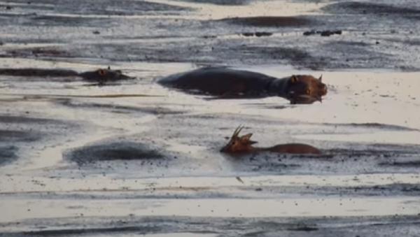 Este es el animal más temido de África… y no es el león - Sputnik Mundo
