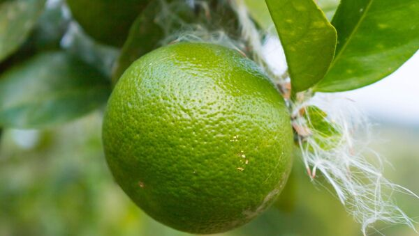 Limones criollos - Sputnik Mundo