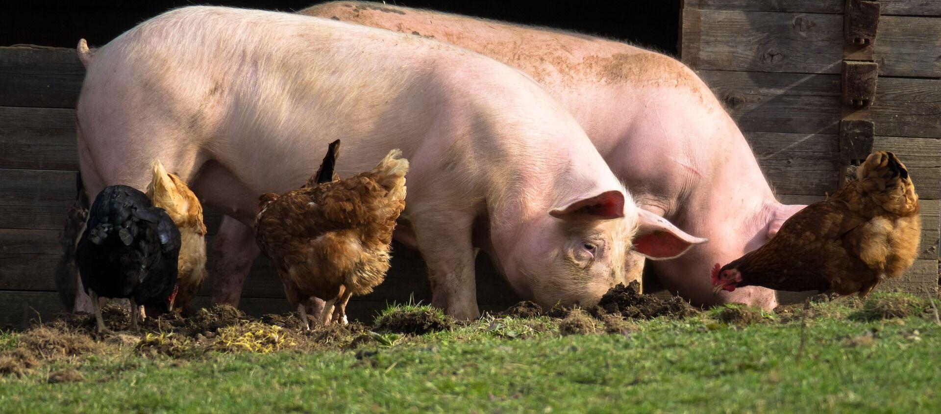 Cerdos y gallinas (imagen referencial) - Sputnik Mundo, 1920, 04.02.2020