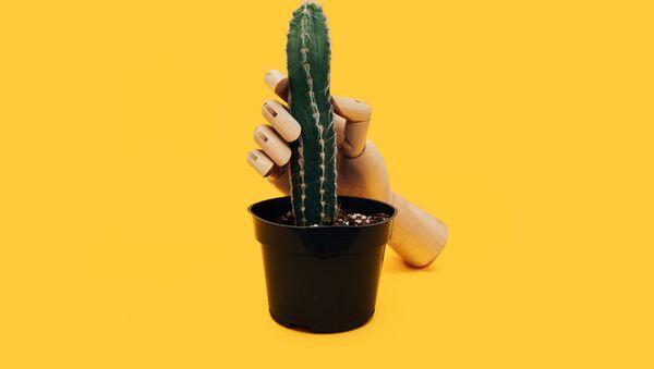 Una mano con un cáctus (imagen referencial) - Sputnik Mundo