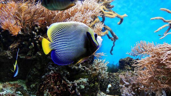 Un arrecife de coral (imagen referencial) - Sputnik Mundo
