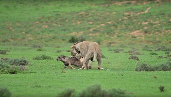 Unos leones juegan con su presa - Sputnik Mundo