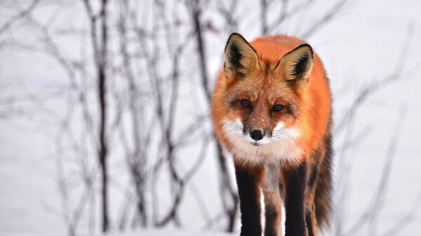 Un zorro, foto de archivo - Sputnik Mundo