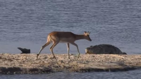 Una inusual batalla salvaje en un lago sudafricano - Sputnik Mundo