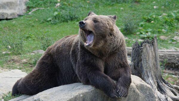 Un oso pardo - Sputnik Mundo