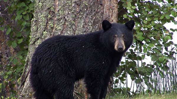 Un oso negro (imagen referencial) - Sputnik Mundo