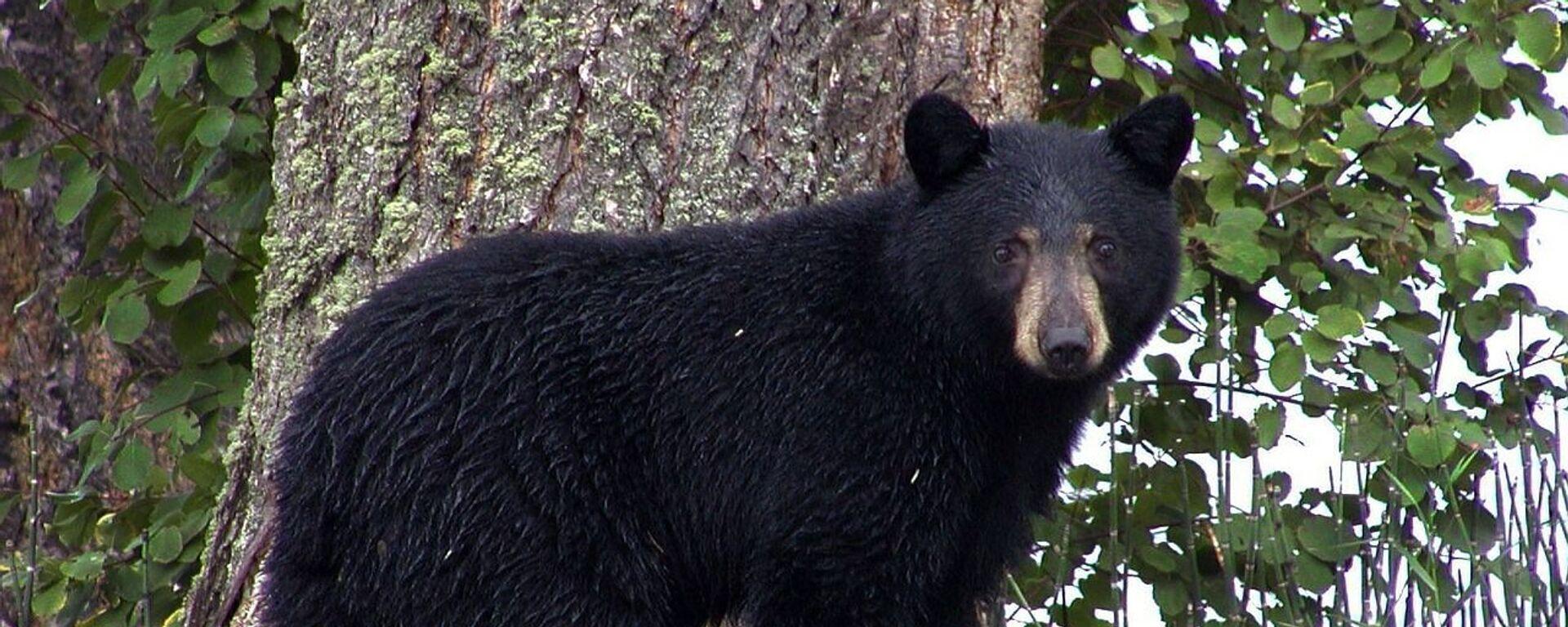 Un oso negro (imagen referencial) - Sputnik Mundo, 1920, 24.07.2021