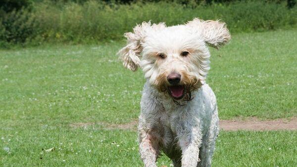 Un perro, imagen referencial - Sputnik Mundo