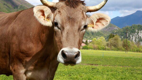 Una vaca - Sputnik Mundo