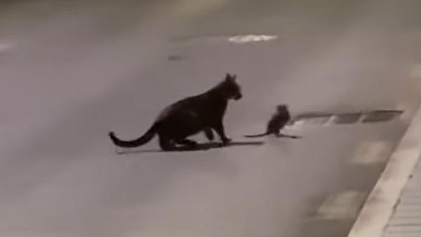 Una rata le planta cara a un gato con trucos al estilo ninja - Sputnik Mundo