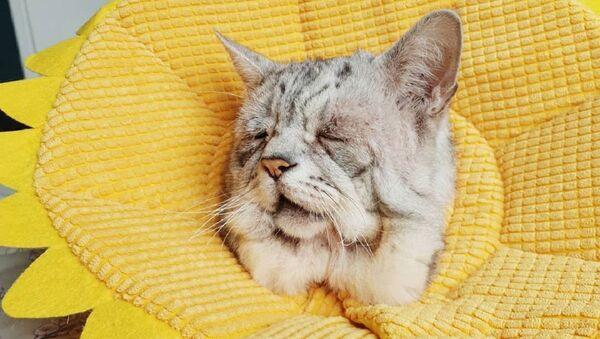 Toby, gato con una rara condición genética - Sputnik Mundo