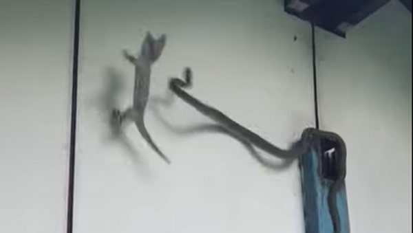 El ataque de una serpiente lanza a un geco a un cubo de agua - Sputnik Mundo