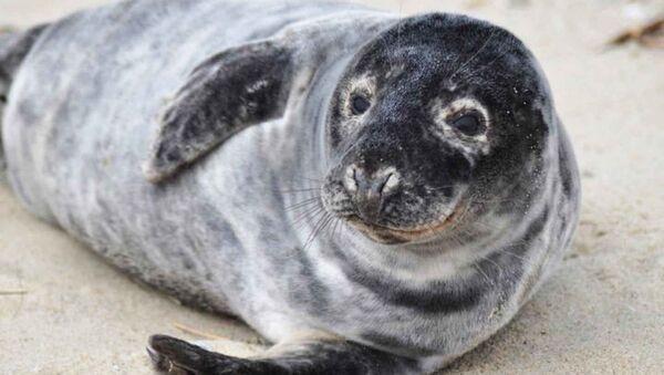Una foca gris (imagen referencial) - Sputnik Mundo