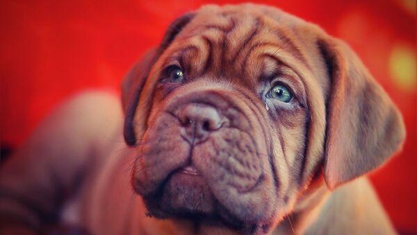 Cachorro de dogo de Burdeos (imagen de archivo) - Sputnik Mundo